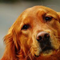Hong Dong: Nejdražší pes na světě