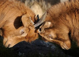 konflikt kozy