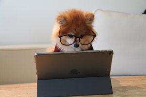 studium pes
